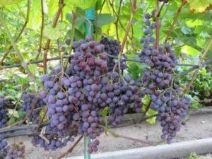 Виноград спулга описание сорта