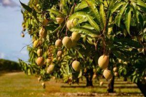 Как выглядит манговое дерево