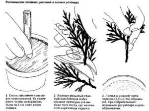 Как размножить можжевельник быстрый и легкий способ
