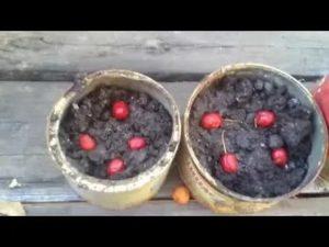 Как развести боярышник из семян