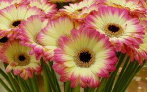 Цветы как ромашки название и фото