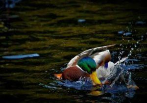 Утка плавает под водой