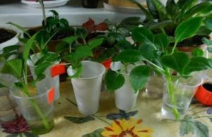Как размножать бальзамин в домашних условиях