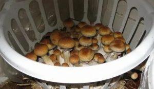 Разведение белых грибов в домашних условиях видео