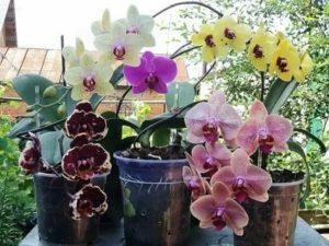 Орхидея зацветает как ухаживать
