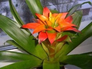Гусмания язычковая комнатные растения