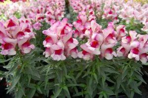 Цветок антирринум фото и уход
