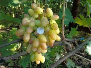 Сорт винограда преображение видео