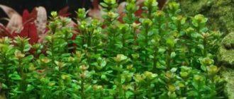 Бакопа каролинская травянистые растения для открытого грунта