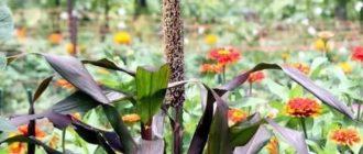 Африканское просо травянистые растения для открытого грунта
