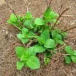 Подкормка пионов осенью удобрениями