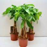 Как долго растет денежное дерево