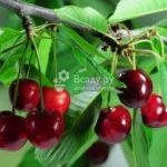 Девичий виноград и клематис