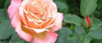 Роза джессика фото и описание