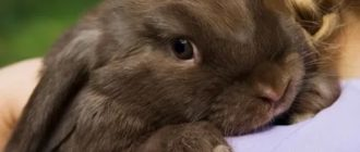 К чему снится коричневый кролик