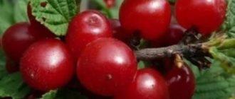 Вишня войлочная микровишня оч ранний высокозимостойкий урожайный