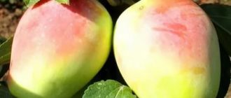 Яблоки удлиненной формы сорт