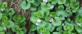 Будра плющевидная травянистые растения для открытого грунта
