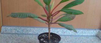 Как называется цветок похожий на пальму фото