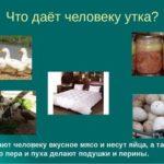 Как различить гусей по полу