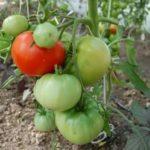 Технология выращивания картофеля в открытом грунте