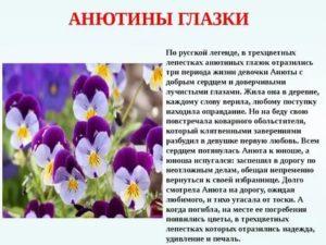 Почему цветок анютины глазки так называется