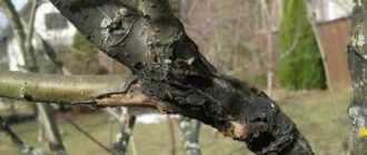 Черный рак на яблоне фото описание