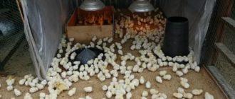 Выращивание цыплят в инкубаторе в домашних условиях