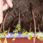 Как размножить фикус крупнолистный в домашних условиях