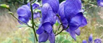 Растение аконит фото и его применение