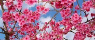 Как называется японская вишня
