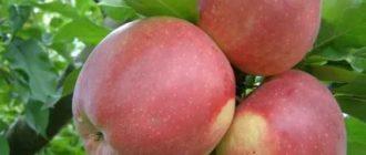 Яблоко лигол описание сорта