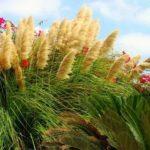 Гелениум осенний травянистые растения для открытого грунта