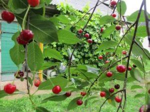 Как быстро растет вишня