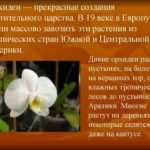 Бегония красивоцветущая комнатные растения