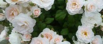 Роза свит блонди энциклопедия роз