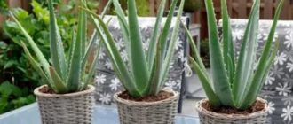 Алоэ выращивание в домашних условиях и уход