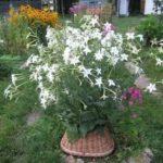 Растение имбирь выращивание дома