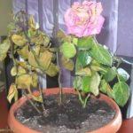 Роза ксантина выращивание из семян