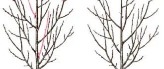Правила обрезки сливы осенью