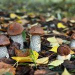 Цветок оленьи рога фото как называется