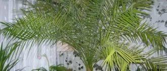 Финиковое дерево из косточки в домашних условиях