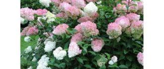 Гортензия метельчатая pink lady
