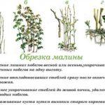 Как расположены хвоинки у кедровой сосны