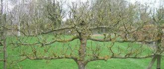 Как обновить крону яблони