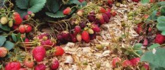Как получить хороший урожай клубники на даче