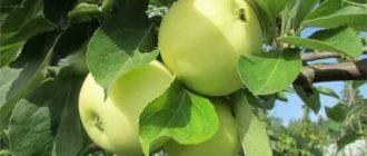 Яблоня белый налив описание сорта фото отзывы