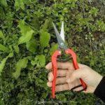 Лизимахия голден ело выращивание из семян