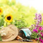 Пахучая герань лечебные свойства