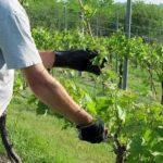 Как правильно посадить лист фиалки с корнями